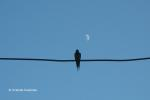 swallow and the moon